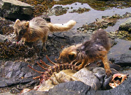 Young arctic foxes eat up a dead harbor seal