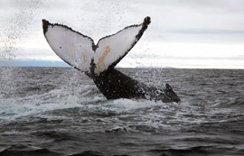 Humpback whale is lobtailing